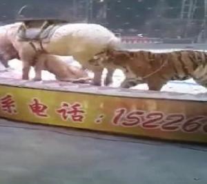 أسد ونمر يفترسان حصانًا أثناء عرض للسيرك (فيديو)