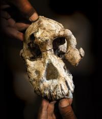 """دراسة متقدمة لحفرية """"مدهشة"""" تبين أصول الإنسان"""