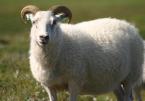 13 معلومة تحميك من الغش عند شرائك أضحية العيد