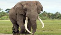 نفوق 350 فيلا بصورة غامضة