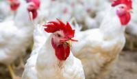 سقوف سعرية للدجاج المباع لمحال التجزئة (وثائق)