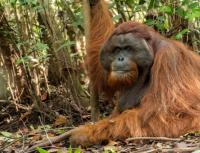 مفاجأة سارة ..  مولود جديد من إنسان الغاب المهدد بالانقراض
