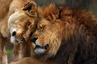 لبؤة تموت بشكل مفاجئ بسبب الحب!