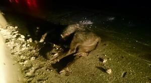 انقلاب شاحنة محمّلة بالأبقار يغلق الطريق الصحراوي (صور)