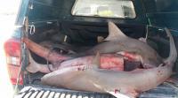 مخالفات بالالاف لملحمة باعت لحوم القرش بالقدس