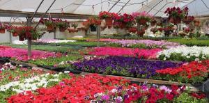 """""""بيت العزّ"""" ..  مشتل غزي يحوي نصف مليون زهرة"""