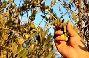 الزراعة تعلن بداية موسم عصر الزيتون
