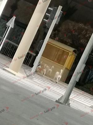 """كلاب ضالة بمحيط أمانة عمان """"صور"""""""