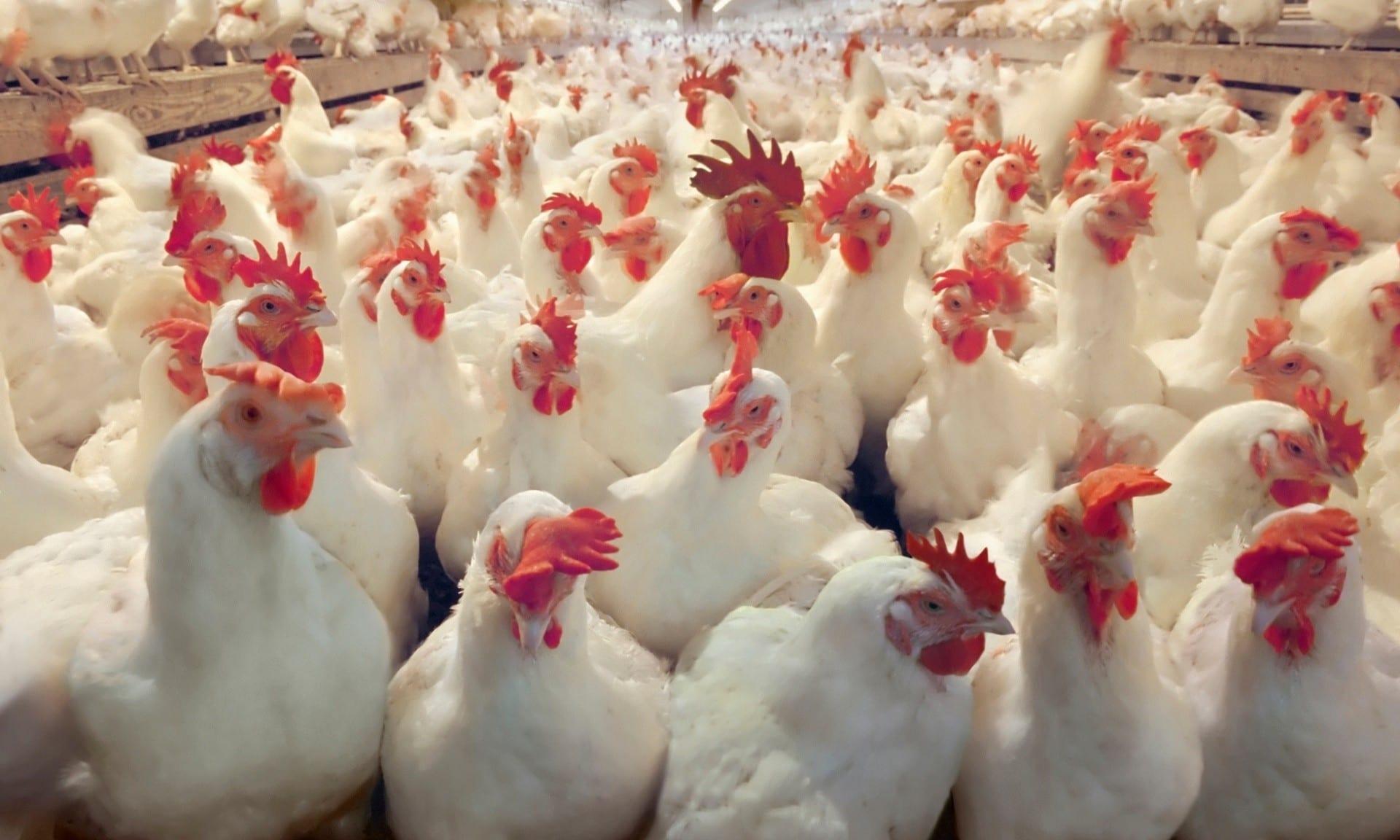 الاردنيون على موعد مع قفزة باسعار الدجاج Image
