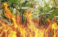 حريق يلتهم 10 دونمات من اشجار الموز