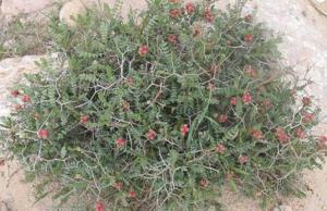 نبتة ذُكرت قبل 8 قرون ..  تهزم السكري