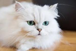 """""""بوسي"""" و""""دعبول"""" قطتان ترفعان دعوى قضائية بإربد"""