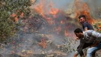 المستوطنون يحرقون ألف شجرة زيتون بالضفة الغربية