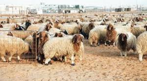 30 مليون دينار إنفاق الأردنيين على الأضاحي