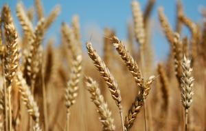 مخزون القمح يغطي استهلاك عام