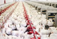 ارتفاع أسعار الدجاج اللاحم 40%