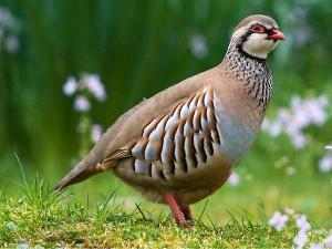 تعليق صيد طائر الشنار والحجل لمدة ثلاث سنوات