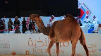 بيع ناقة بـ 186 ألف دولار في السعودية